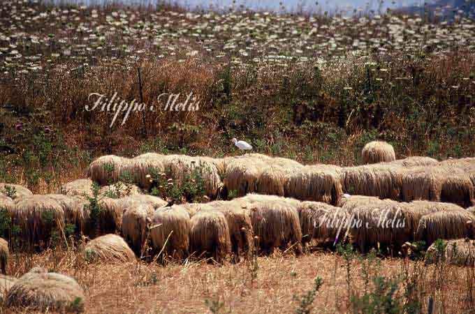 airone_guardabuoi_pecore