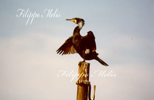 cormorano
