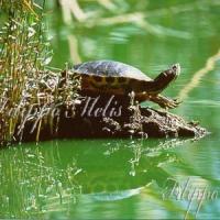 tartaruga_orecchie_ rosse
