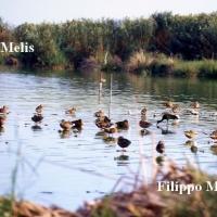 Bellarosa minore uccelli